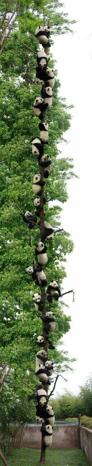 pandaa