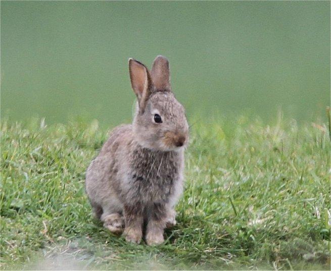 RabbitQ1MBJM