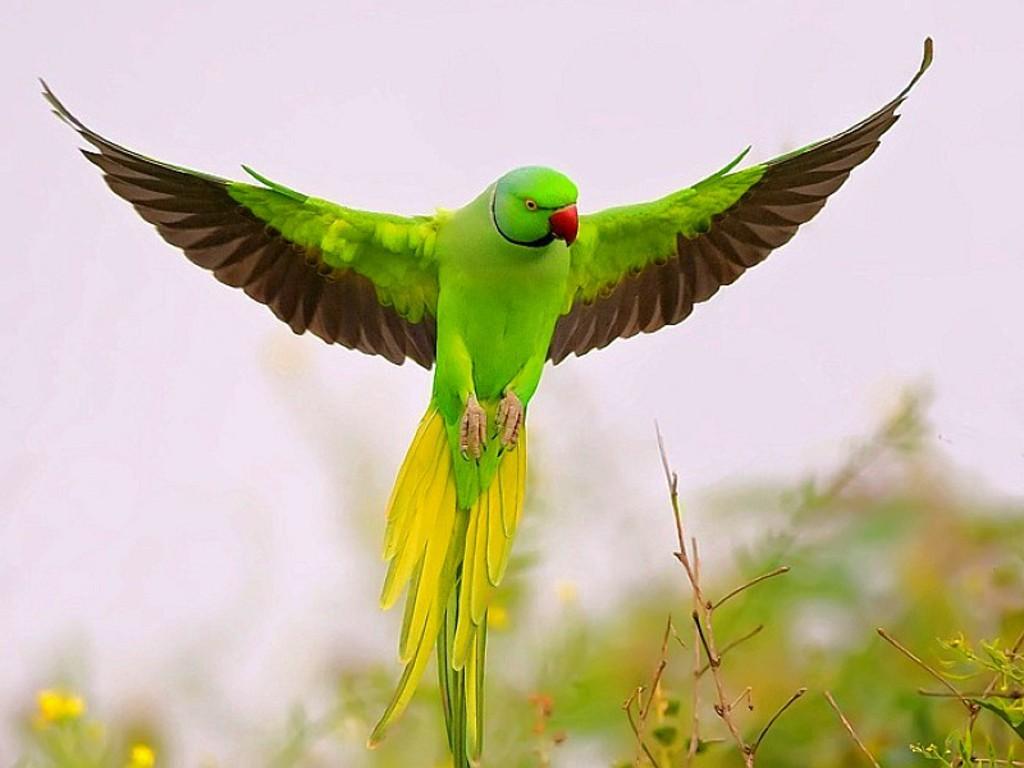 parrotmm